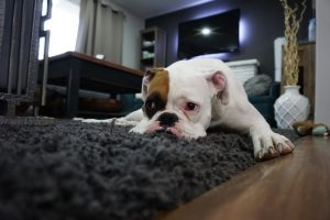 picture of a dog laying on a clean rung in Charlotte NC - Best Carpet Cleaning Charlotte NC 418 Echodale Drive Charlotte NC 28217 704-343-8765